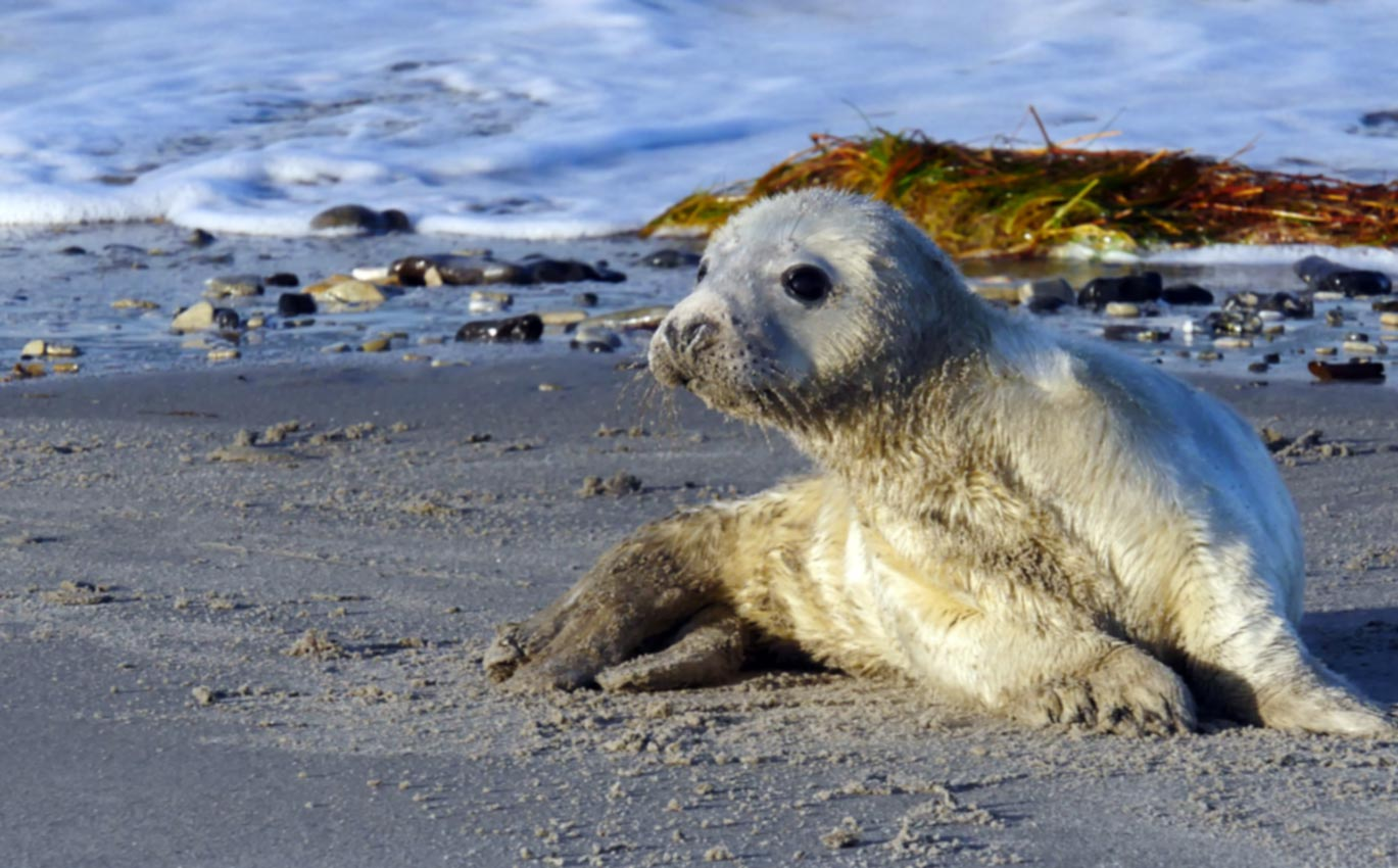 Helgoland-Highlight zum Jahreswechsel: Robbenbabies auf der Düne | Bild: Andreas Bubrowski
